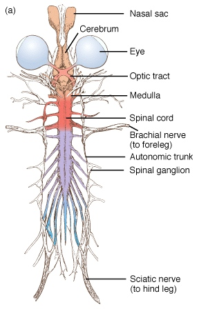 Frog Nervous System Animal Body Systems Pinterest Nervous
