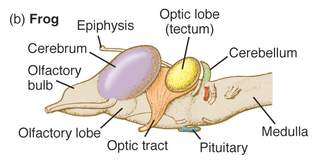 External anatomy of the frog and its functions