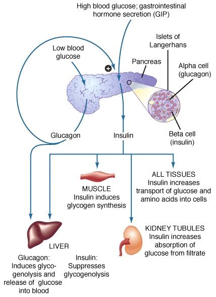 Insulin target cells