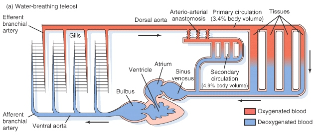 Cardiac that can survive in either water or air the swim bladder normally used to control buoyancy in fish is modified into a lung like organ eckert fig ccuart Images