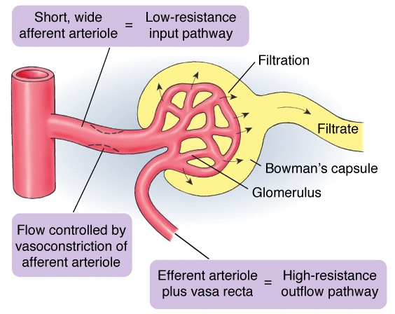 Is the efferent arteriole connected with the afferent arteriole or ...