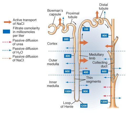 Osmoregulation ii 1 ion and water transport in the nephron ccuart Choice Image