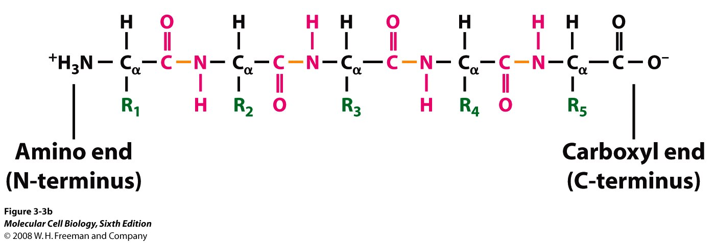 Amino acids chain