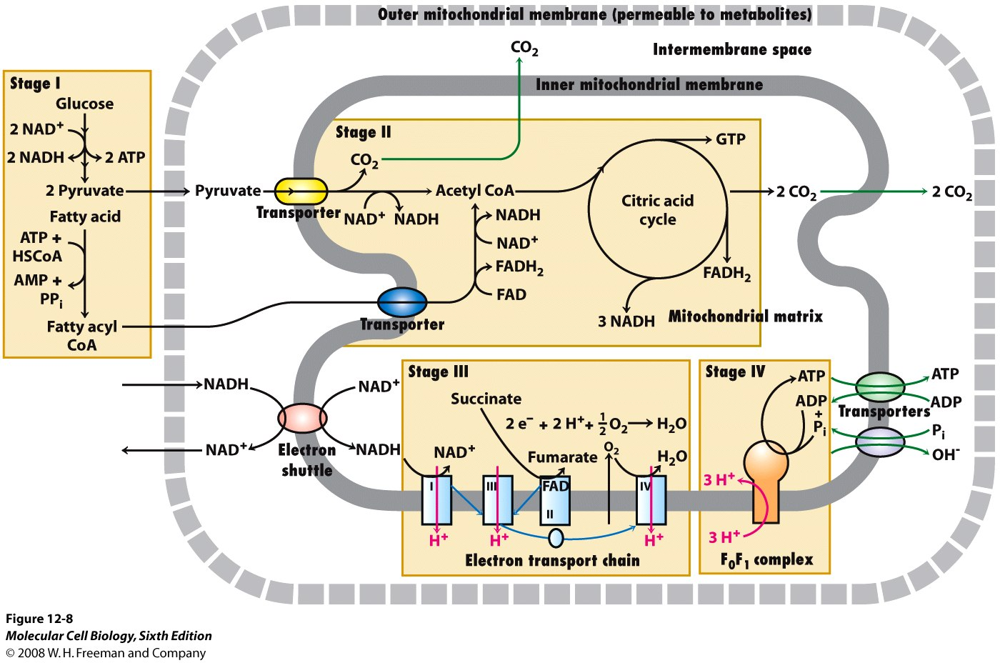 draw and label a mitochondria surrounded by cytoplasm indicate where glycol s the krebs cycle and th Movement of mitochondrial oaa to the cytoplasm to maintain this cycle requires it be transaminated to aspartate (asp, d) with the amino group being donated by glutamate (glu, e) the asp then leaves the mitochondria and enters the cytoplasm.