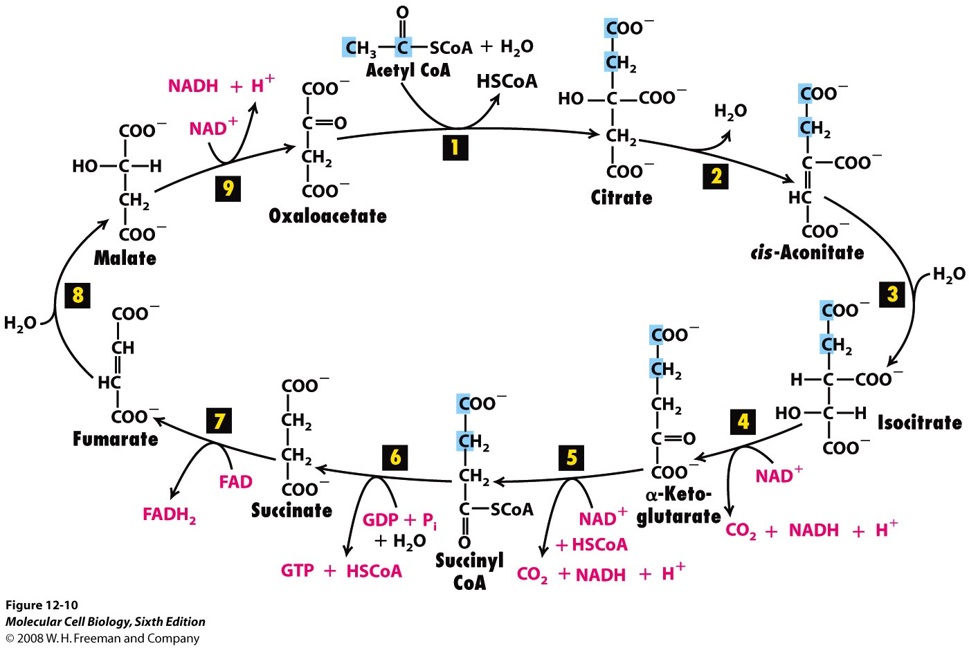 Citric acid cycle 2 the citric acid cycle look fig 12 8 lodish to see an overview of how the citric acid cycle tca cycle fits in to glucose metabolism pooptronica Image collections