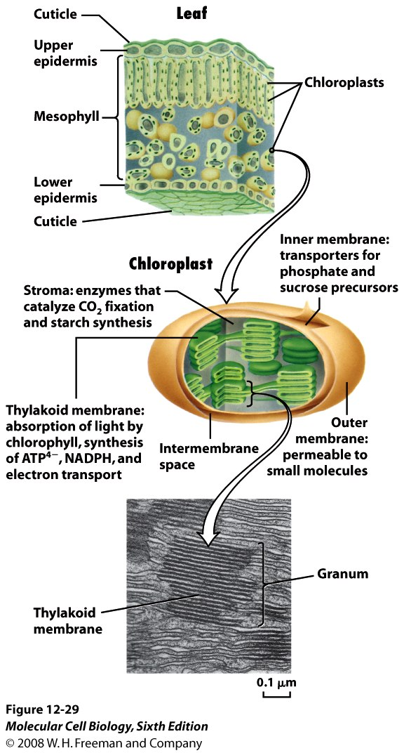 thylakoid oxygen photosythesis If oxygen is used to light dependant reaction and it occurs in the thylakoid respiration photosynthesis organelle mitochondria chloroplast uses.