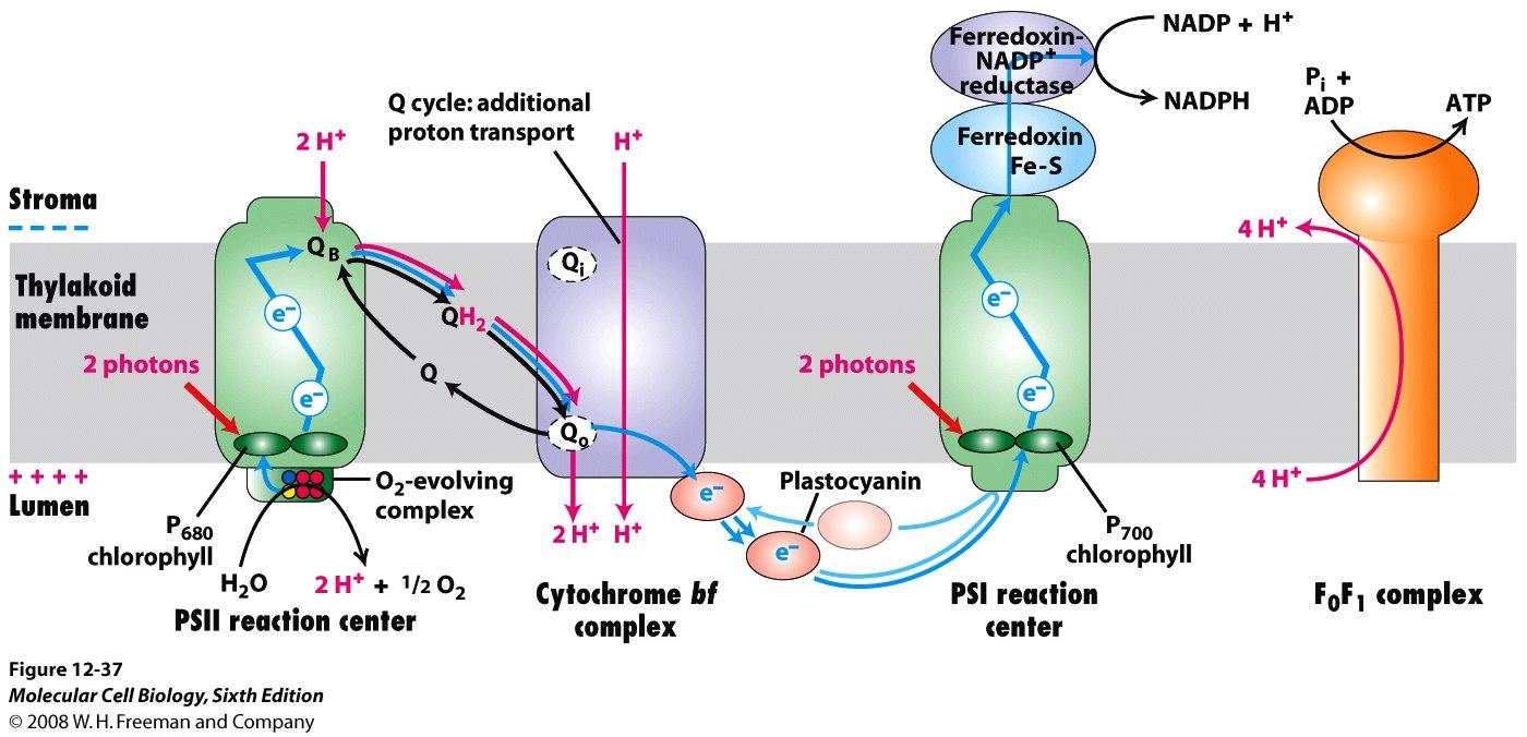 thylakoid oxygen photosythesis