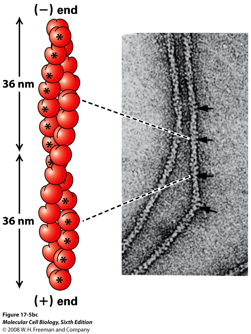 3. Microfilaments are filaments consisting of a double ...