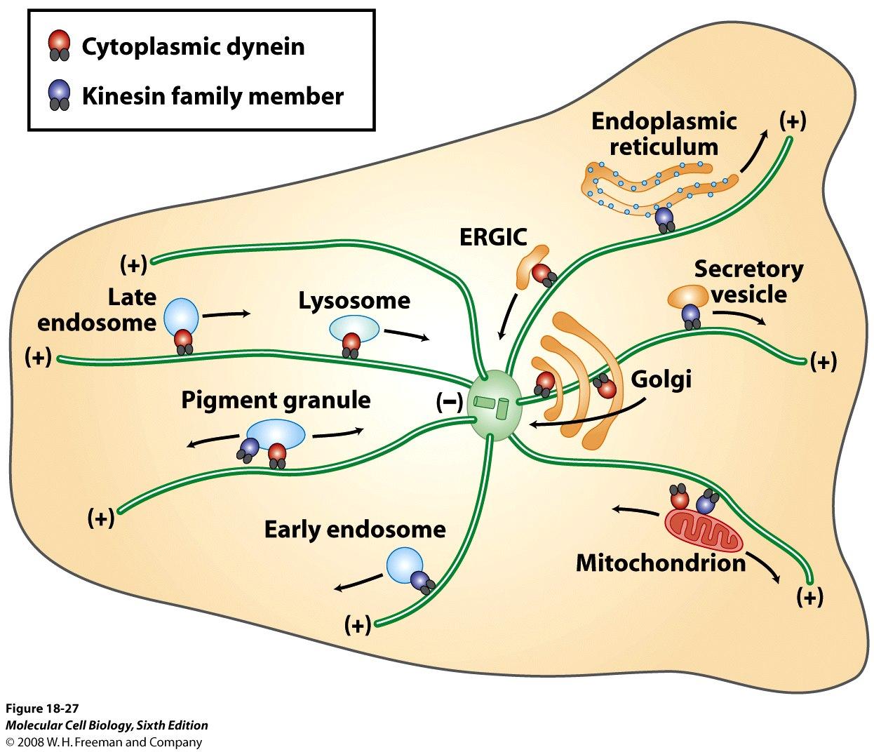 Microtubule animal cell
