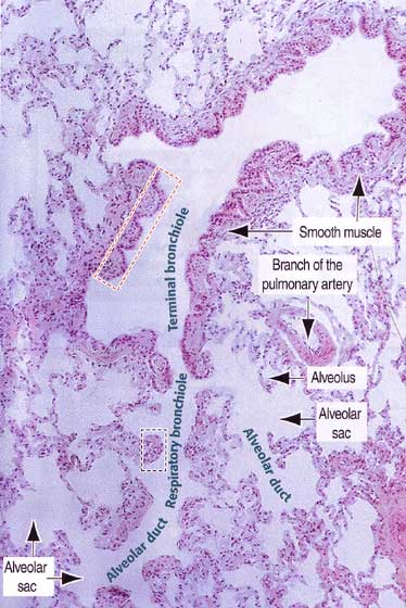Gas exchange i histology of the lung ccuart Gallery